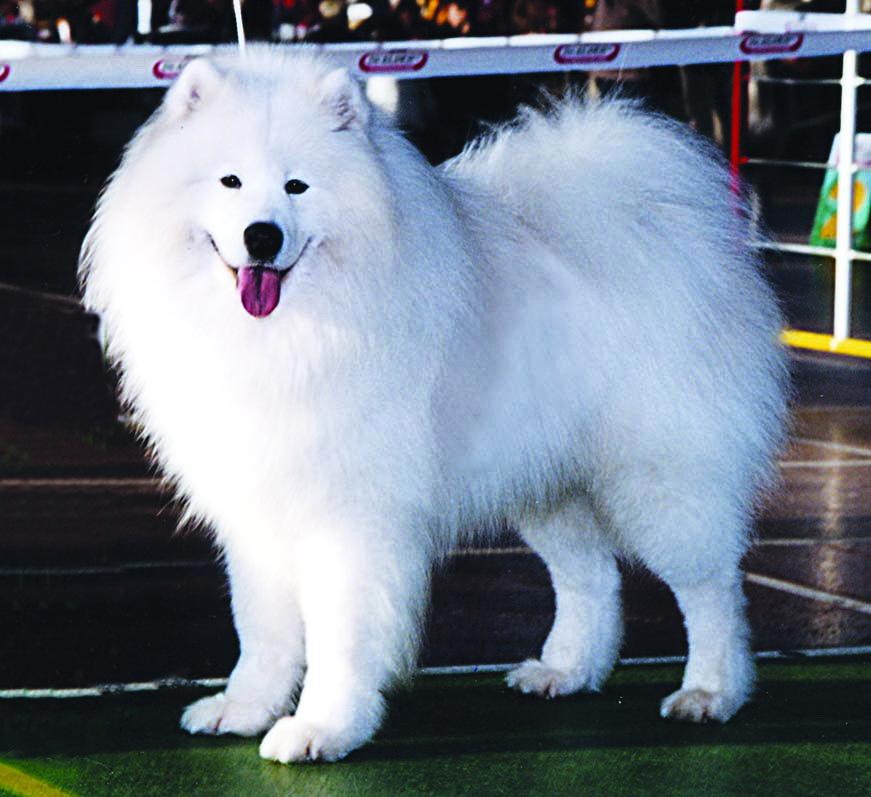 Самоеды - собаки с характером